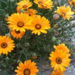 ガーベラが発芽するまでの日数や発芽のコツについて