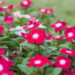 ニチニチソウの花に発生する害虫や対策法は!?