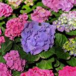 紫陽花の品種ディープパープルの上手な育て方