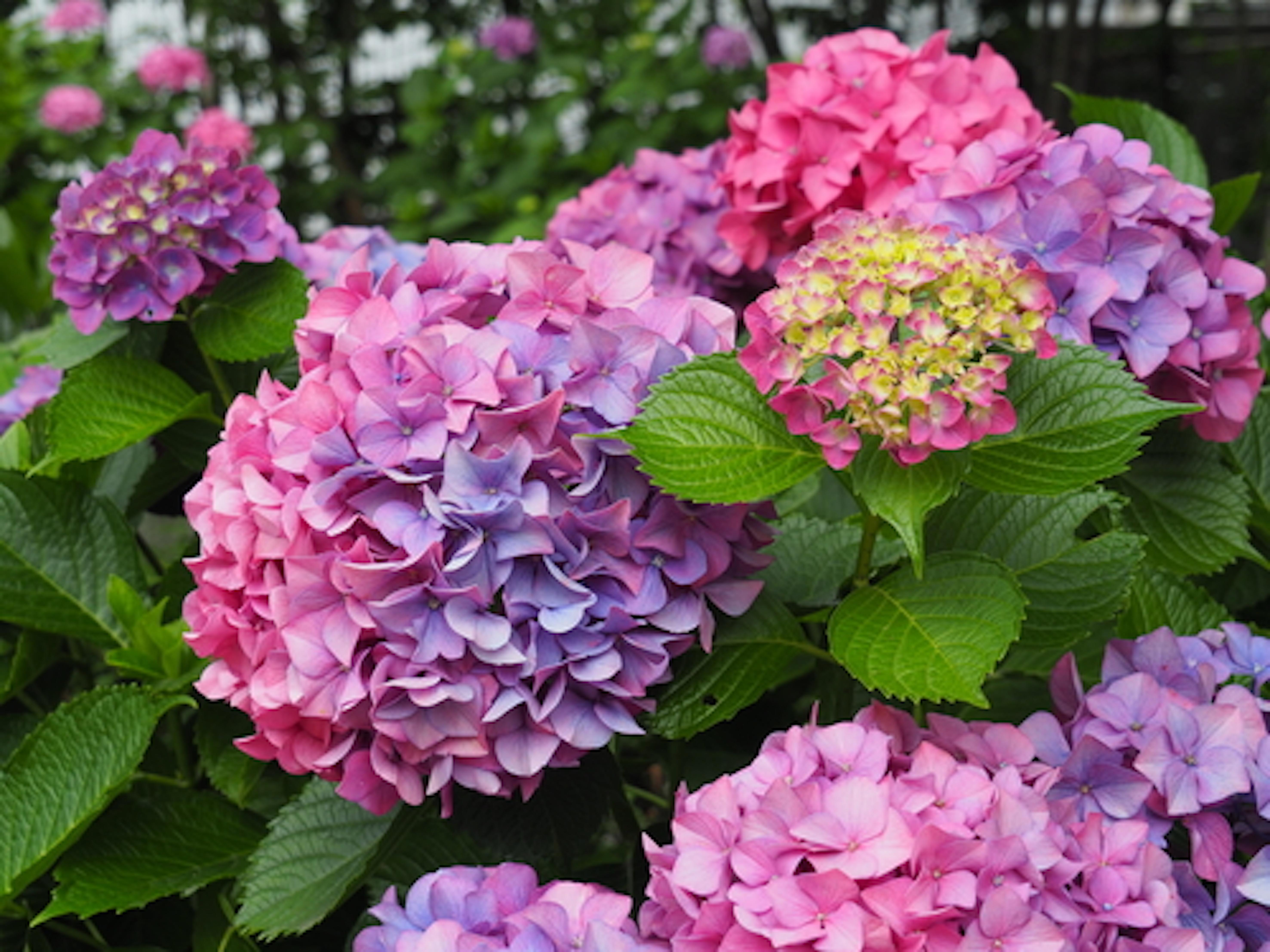 紫陽花 ガクアジサイ 種類 花言葉