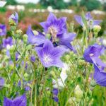 キキョウの花言葉の意味や由来について。色別で花言葉が違う!