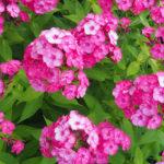紫陽花の鉢植えを長持ちさせるお手入れ方法について