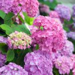 水戸の紫陽花の見頃の時期や名所、開花状況について