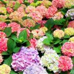 日本の有名な紫陽花のおすすめ名所をご紹介!