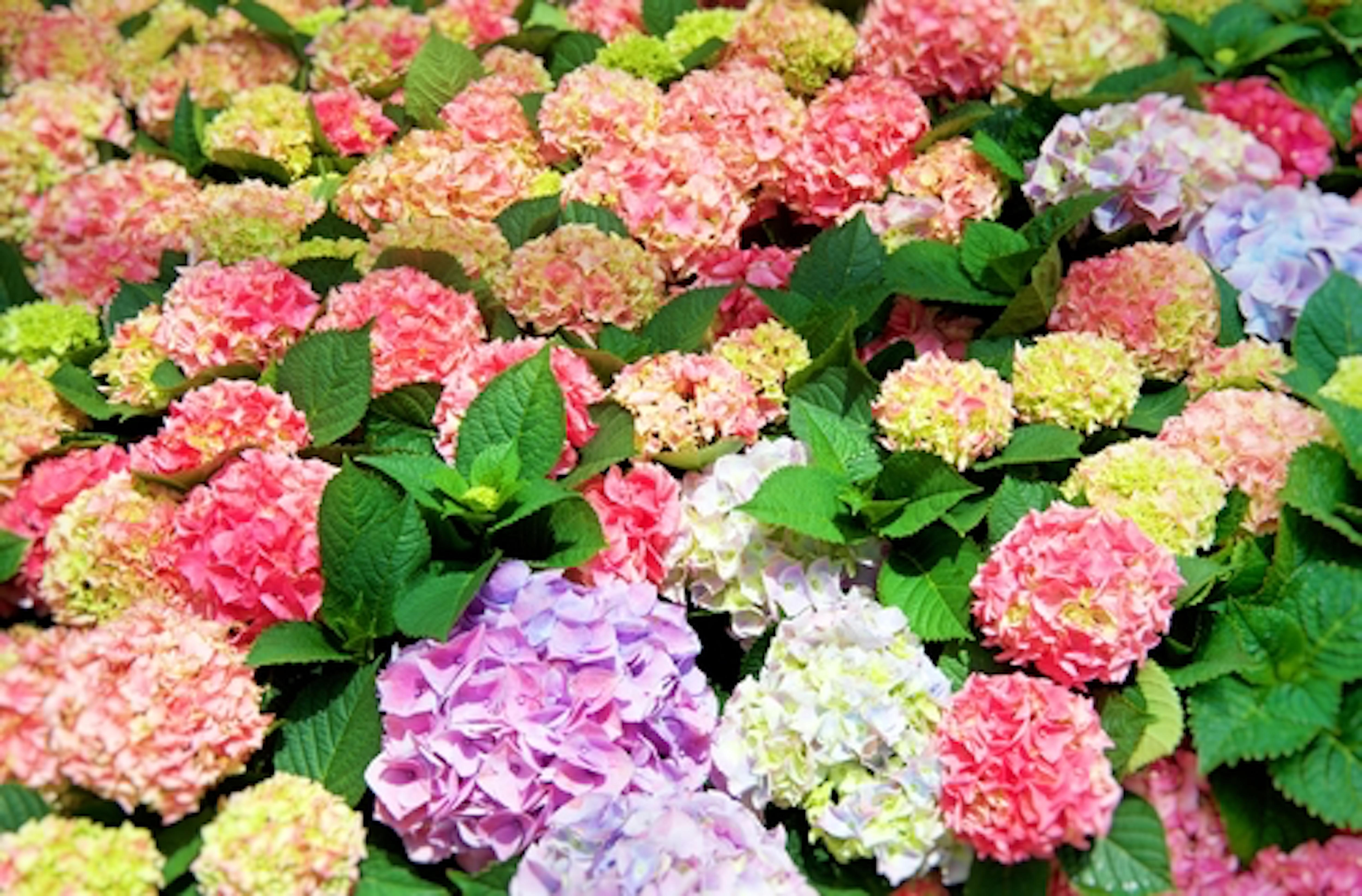 紫陽花 日本 有名 名所