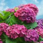 紫陽花がしおれる原因は!?するに復活させる方法を紹介!