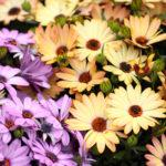 ガーベラを花屋で買える季節はいつ?