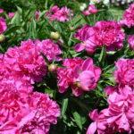 紫陽花の葉の特徴。形や大きさについて