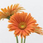 ガーベラの花言葉と本数について