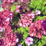 紫陽花の室内での上手な育て方について