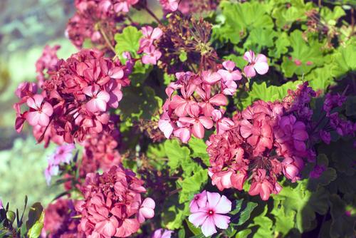 紫陽花 室内 育て方