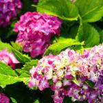 紫陽花の花がなかなか咲かない原因とは!?