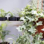 小さい葉のアイビーの種類について