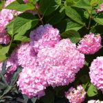 紫陽花の剪定の時期や方法について