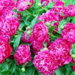 紫陽花の花の形や枚数について