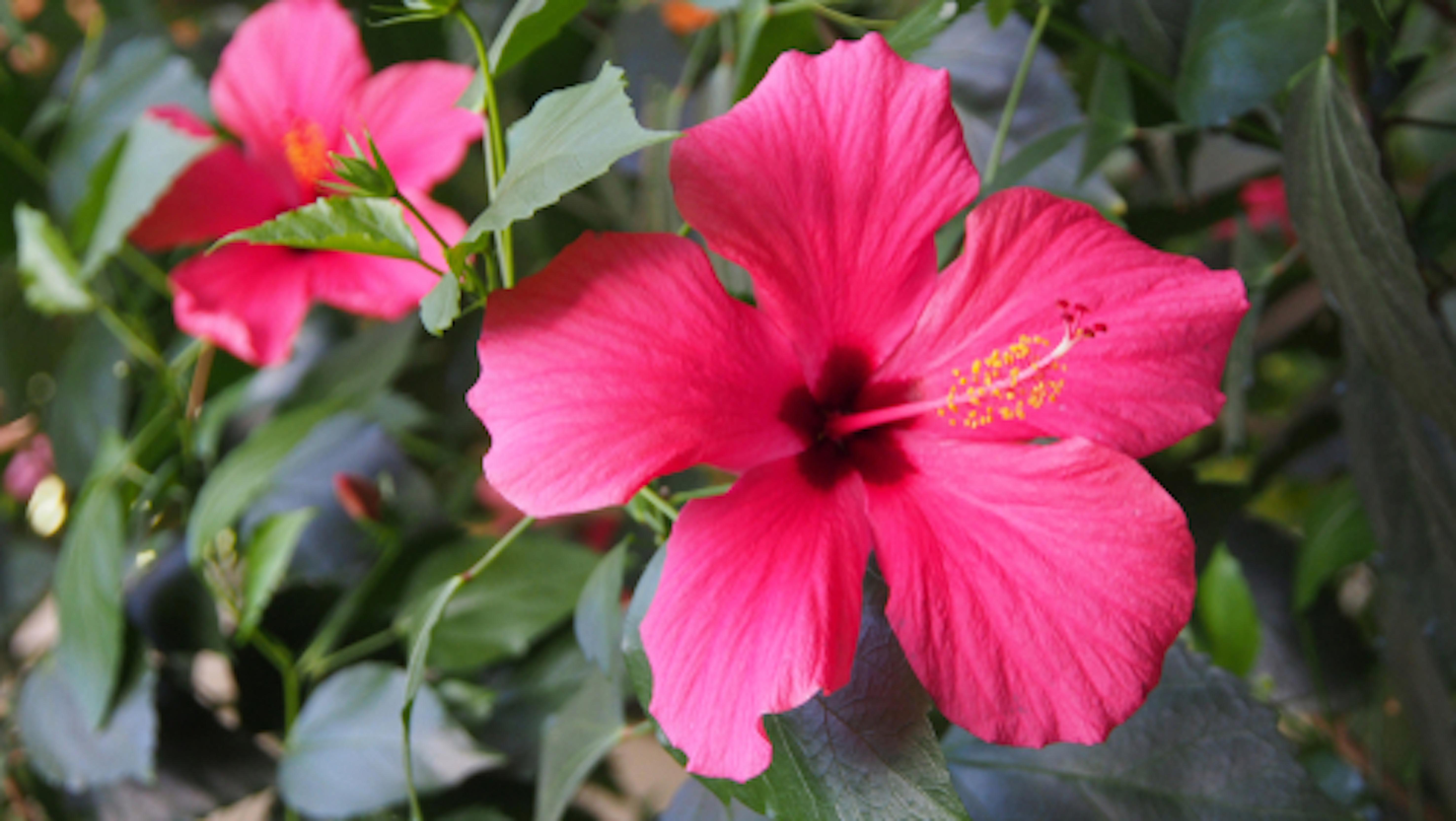 ハイビスカス ピンク 品種