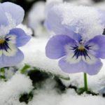 スミレの育て方。冬の越し方について
