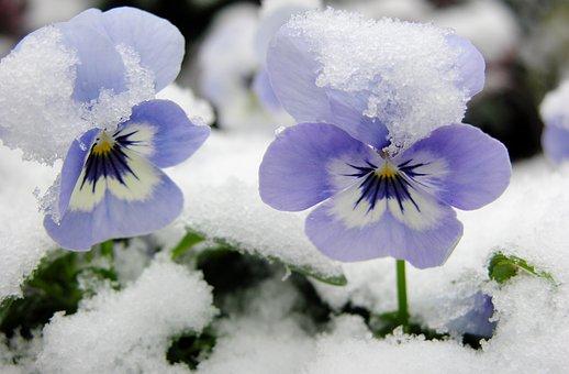 スミレ 育て方 冬