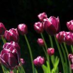 チューリップの水栽培のやり方と適切な時期について