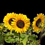 ひまわりの花束の寿命はどれくらい?長持ちさせる手入れ方法は?