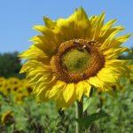 ひまわりの秋まで花を咲かせる品種は!?
