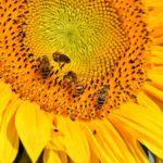ひまわりの花壇での育て方。苗の植え方や土作りの方法