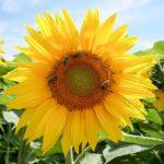名寄のひまわり畑の見頃の時期や開花状況、アクセス方法について