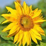 花の都公園ひまわりの開花状況や見頃の時期、場所の情報について