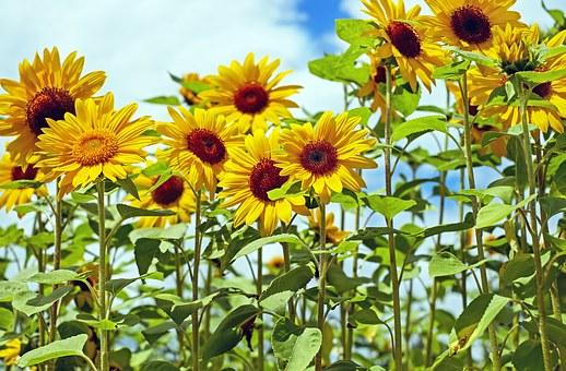 ひまわり 花粉 大きさ 特徴