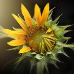 ひまわりの花が咲き終わった後の花の処理方法は!?