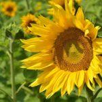 夏の花!ひまわりの特徴について