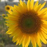 花びらの色が茶色のひまわりの品種について