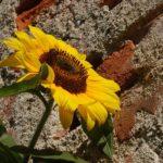 ひまわりの花・種子の構造について
