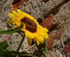 ひまわり 種子 花 構造