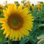 ひまわりの寄せ植え方法について。相性がいい花は!?