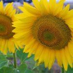 ヒマワリ緑肥の方法や行う時期について