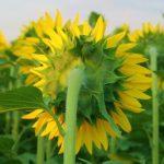 ひまわりの種の発芽にかかる日数は上手に発芽させる方法について