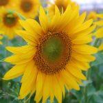 ひまわりの花を沢山育てたい!摘心の方法や時期について