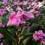 ニチニチソウの花には毒があるって本当!?