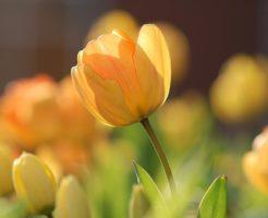 チューリップ 時期 開花