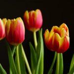 チューリップの花が終わった後のお手入れの仕方