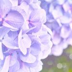 紫陽花アナベルの鉢植えでの育て方。植え方はどうするの!?