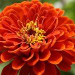 百日草の花が咲かない原因や対策方法は!?