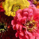 百日草の種が発芽するのに最適な温度や日数は!?