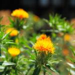 ベニバナの種まきの時期や方法について