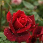 バラの品種うららの育て方について