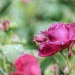バラの褐斑病の原因や治療方法について