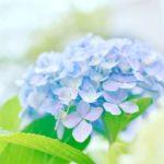 余呉湖あじさい園の紫陽花の見頃の時期や開花状況について