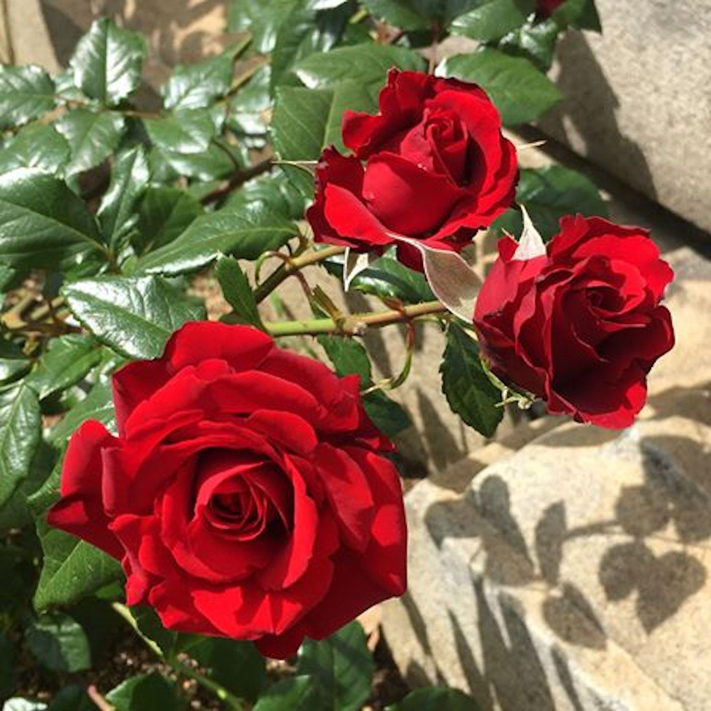 バラ 種類 赤