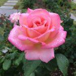 バラの種類ラ・マリエの育て方について